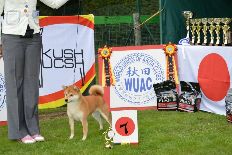 Akita club shiba champion femelle