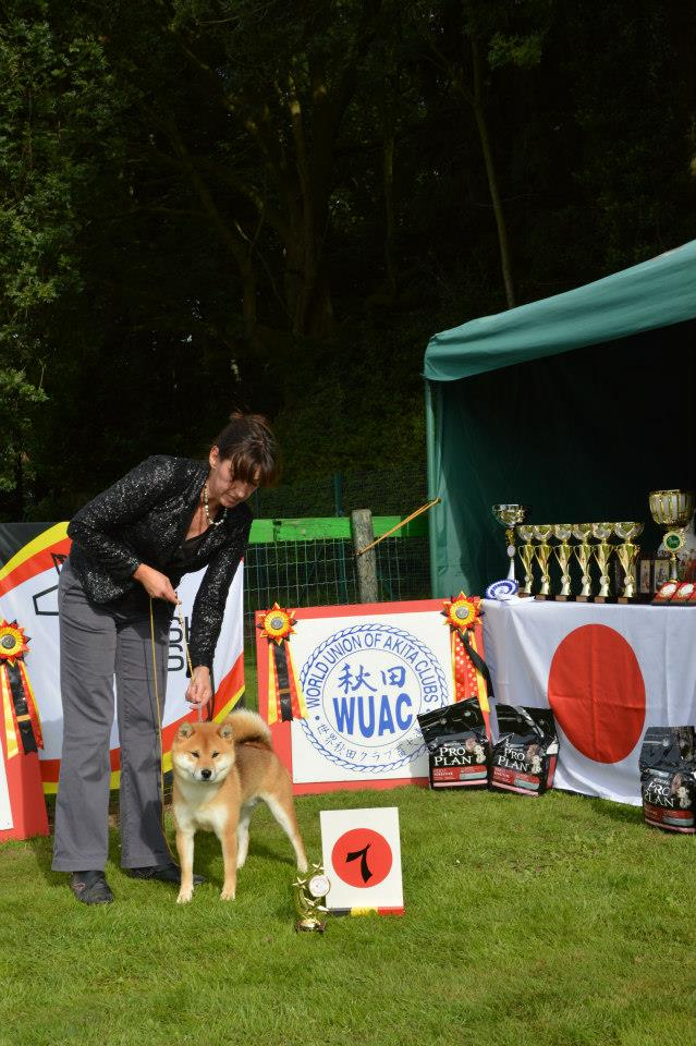 Akita club shiba mâle champion