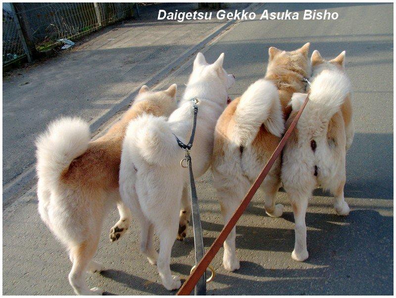 balades - wandelingen akita club